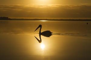 Pelican Shadow